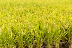 Fresh Rice field Stock Images