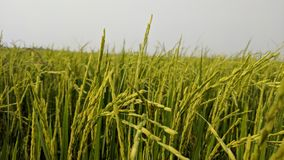Fresh rice. In my farm Stock Photos