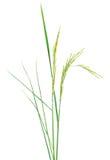 Fresh rice plant isolated on white Royalty Free Stock Image