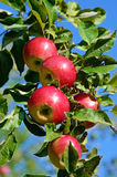 Fresh ripe apples on apple tree branch in the garden Royalty Free Stock Photography
