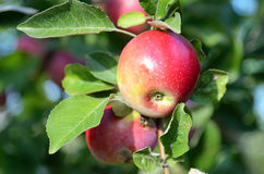 Fresh ripe apples on apple tree branch in the garden Royalty Free Stock Photos