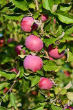 Fresh ripe apples on apple tree branch in the garden Stock Photos