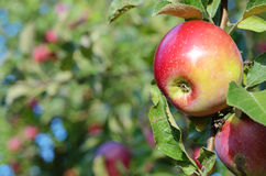Fresh ripe apples on apple tree branch in the garden close up Royalty Free Stock Image