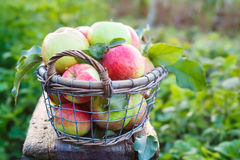 Fresh ripe apples in the basket Royalty Free Stock Photography