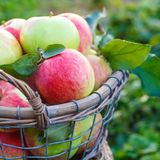 Fresh ripe apples in the basket Royalty Free Stock Images
