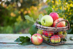 Fresh ripe apples in the basket. Royalty Free Stock Images