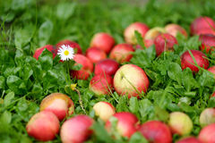 Fresh ripe apples on green grass Stock Image