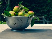 Fresh biologic apples full in in the metal colander on the tabl. Fresh ripe apples in in the metal mesh percolate pot on the table outdoor. Apple harvest with royalty free stock photo