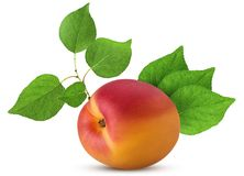 Fresh ripe apricot with leaf. Isolated on white background. Clipping Path. Full depth of field Stock Photography