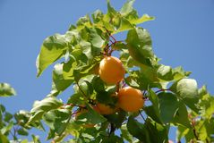 Apricots on tree against blue sky, close up royalty free stock image