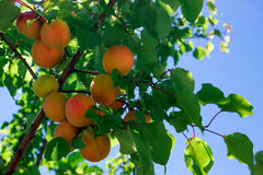 Fresh ripe apricots on tree. Sunny day. royalty free stock photos