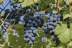 Fresh ripe black bunch of  grapes for vine Royalty Free Stock Photo