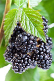Fresh ripe blackberry on the twig. With leaves Stock Photo