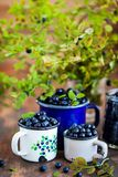 Fresh ripe bluberries bilberries in enamel mugs royalty free stock image