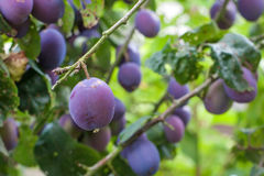 Fresh ripe blue plums on tree Royalty Free Stock Images