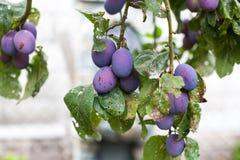 Fresh ripe blue plums on tree Royalty Free Stock Image
