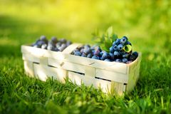 Fresh ripe blueberries in cute wooden basket on a grass under blueberry bush stock images