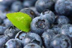 Fresh ripe blueberries Stock Photography