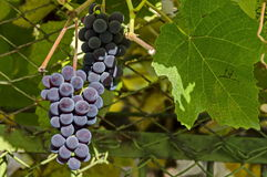 Fresh ripe bunch of  grapes fruit at vine. Berkovitsa, Bulgaria Royalty Free Stock Image