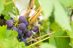Fresh and ripe bunches of red wine grapes growing in garden. Clo Royalty Free Stock Photography
