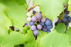 Fresh and ripe bunches of red wine grapes growing in garden. Clo Stock Photography