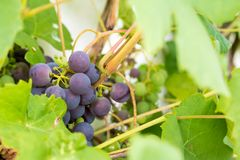 Fresh and ripe bunches of red wine grapes growing in garden. Clo Stock Image