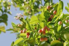 Ripe Carissa carandas, Bengal Currant Fruits on Its Tree. Fresh Ripe Carissa carandas, Bengal Currant Fruits on Its Tree royalty free stock photos