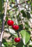 Fresh ripe cherries on branch in garden Stock Image