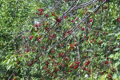 Fresh ripe cherries on branches in garden Stock Photos
