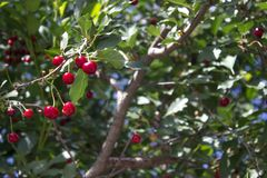 Fresh ripe cherries on branches in garden Royalty Free Stock Photos
