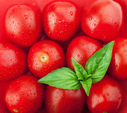 Fresh ripe cherry tomatoes and basil Royalty Free Stock Photo