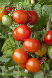 Fresh ripe cherry tomatoes Royalty Free Stock Photography