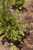 Fresh ripe cilantro grows on a small organic farm Royalty Free Stock Photos