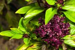 Fresh ripe clove basil Stock Photography