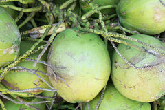Fresh ripe coconut from coconut tree, nature Royalty Free Stock Images
