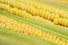 Fresh ripe corn cobs, macro Stock Photo