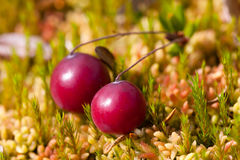 Fresh ripe cranberries. On the moss, closeup Royalty Free Stock Photos