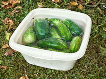 Fresh ripe cucumbers Stock Photo
