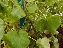 Fresh ripe cucumbers growing in a greenhouse in the garden. Close-up Stock Photo