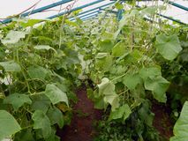 Fresh ripe cucumbers growing in a greenhouse in the garden. Close-up Royalty Free Stock Photo