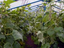 Fresh ripe cucumbers growing in a greenhouse in the garden. Close-up Royalty Free Stock Photography