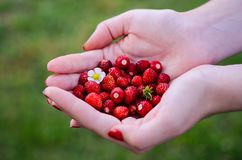 Fresh ripe forest strawberries in a female hand at the green summer background. Stock Photography