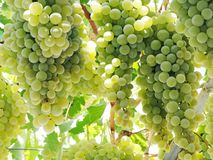 Fresh ripe grapes fruit growing in nature Royalty Free Stock Images