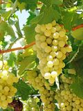 Fresh ripe grapes fruit growing in nature Stock Images