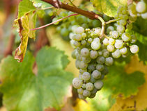 Fresh ripe grapes Royalty Free Stock Photography