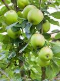 Fresh ripe green apples on tree Royalty Free Stock Photos