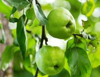Ripe green apples on a tree in a garden Stock Images