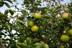 Fresh ripe green apples on tree Royalty Free Stock Images