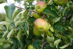 Fresh ripe green apples on tree Royalty Free Stock Photo