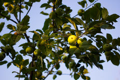 Fresh ripe green apples on tree on sunset Stock Image